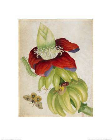 Plant by Maria Sibylla Merian