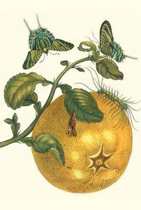 Pomelo Fruit with Urania Moth by Maria Sibylla Merian