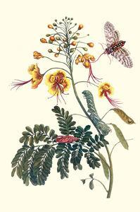 Pride of Barbados with a Tobacco Hornworm by Maria Sibylla Merian