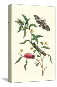 Primrose Willow or Water Purslane with a Banded Sphinx by Maria Sibylla Merian