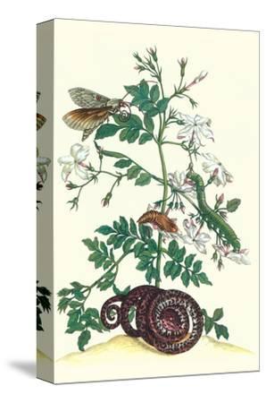 Royal Jasmine with an Amazon Tree Boa and an Ello Sphinx Moth