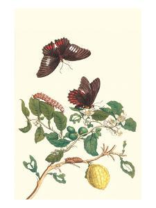 Swallowtail on a Mexican Lime Tree by Maria Sibylla Merian
