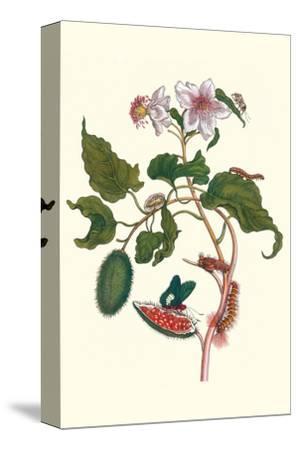 Urucu Tree a Phidias Firetip Butterfly