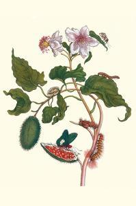 Urucu Tree a Phidias Firetip Butterfly by Maria Sibylla Merian