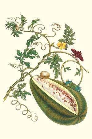 Watermelon and Slug Moth