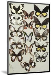 Fifteen Swallowtail butterflies (Family Papilionidae) in three columns by Marian Ellis Rowan