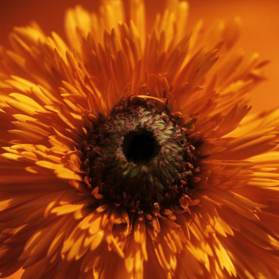 Marigold (Calendula Officinalis)-Cristina-Photographic Print