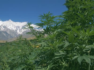 Marijuana Bushes, Near Hopar Glacier, Hunza, Pakistan-Jane Sweeney-Photographic Print