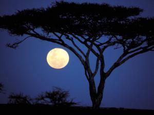 Acacia Tree in Moonlight, Tarangire, Tanzania by Marilyn Parver