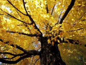 Fall Maple Trees, Vermont, USA by Marilyn Parver