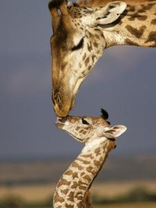 Giraffe, Masai Mara, Kenya by Marilyn Parver