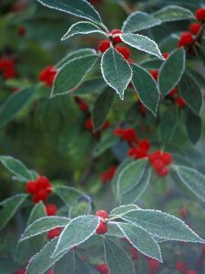 Holly Berries With Frost by Marilyn Parver