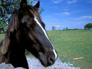Horse near Ruin, County Cork, Kinsale, Ireland by Marilyn Parver