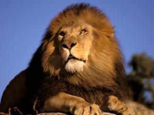Lion, Masai Mara, Kenya by Marilyn Parver
