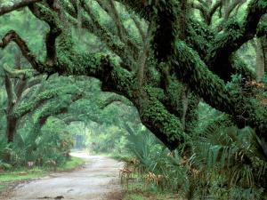 Live Oak and Ferns, Cumberland Island, Georgia, USA by Marilyn Parver