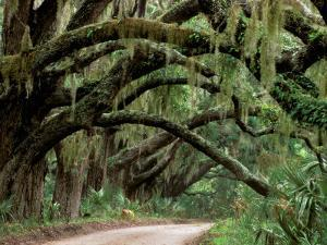 Oak Trees and Spanish Moss, Cumberland, Georgia, USA by Marilyn Parver