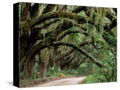 Oak Trees and Spanish Moss, Cumberland, Georgia, USA