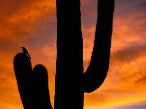 Saguaro Cactus and Wren, Sonoran Desert, Arizona, USA by Marilyn Parver