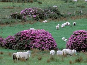 Spring Countryside with Sheep, County Cork, Ireland by Marilyn Parver