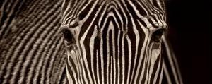 Zebra Grevy by Marina Cano