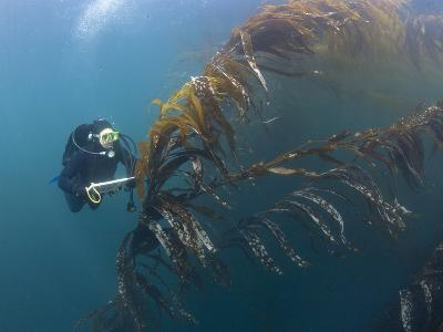 Marine Biologist and Diver Performing a Rockfish Survey in Giant Kelp Forest-Richard Herrmann-Photographic Print