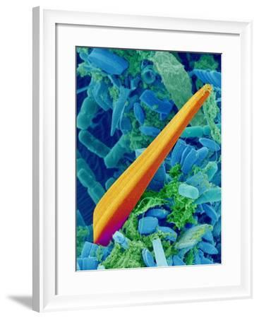 Marine Diatom Alga, SEM-Susumu Nishinaga-Framed Photographic Print