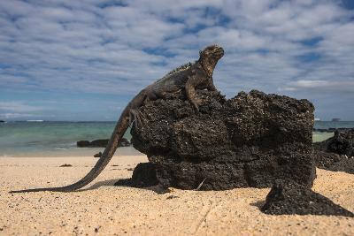 Marine Iguana (Amblyrhynchus Cristatus), Galapagos Islands, Ecuador-Pete Oxford-Photographic Print