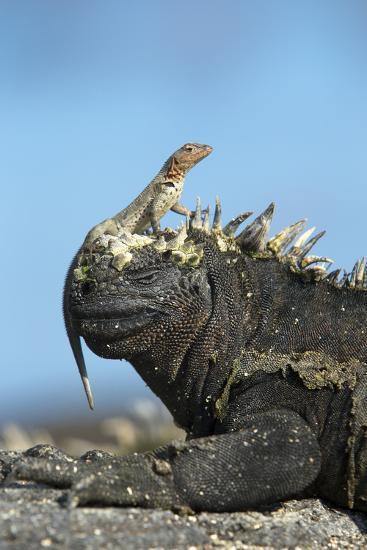 Marine Iguana (Amblyrhynchus Cristatus) on Rock with Lava Lizard Sitting on its Head-Ben Hall-Photographic Print