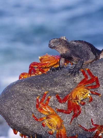 Marine Iguana & Sally Lightfoot Crabs, Mosquera Island, Galapagos-Mark Jones-Photographic Print
