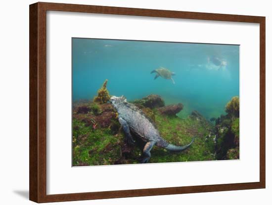 Marine Iguana Underwater, Fernandina Island, Galapagos, Ecuador-Pete Oxford-Framed Photographic Print
