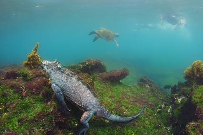 Marine Iguana Underwater, Fernandina Island, Galapagos, Ecuador-Pete Oxford-Photographic Print