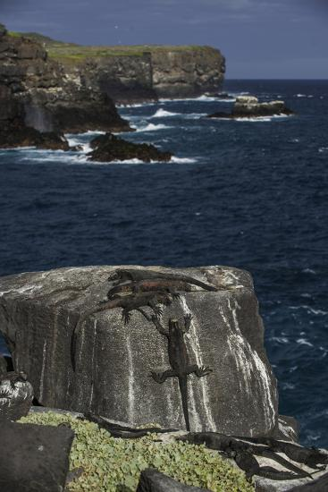 Marine Iguanas, Amblyrhynchus Cristatus, Sunbathing on the Sea Cliffs of Espanola Island-Jad Davenport-Photographic Print