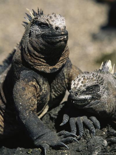 Marine Iguanas, Galapagos Islands-Steve Winter-Photographic Print