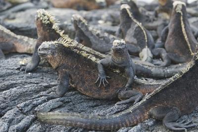 Marine Iguanas-DLILLC-Photographic Print