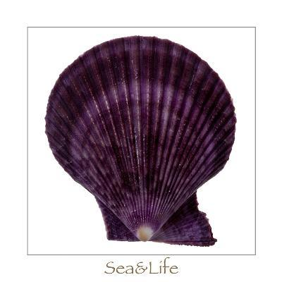 Maritime Still Life with Scallop-Uwe Merkel-Photographic Print