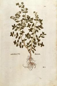 Marjoram - Origanum Majorana (Amaracus) by Leonhart Fuchs from De Historia Stirpium Commentarii Ins