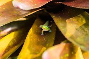 A colorful Day Gecko in a bromeliad flower by Mark A Johnson