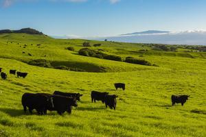 Cattle on lush pasture land, Waimea, Big Island, Hawaii by Mark A Johnson