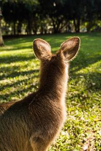 Eastern Gray Kangaroo, Queensland, Australia by Mark A Johnson