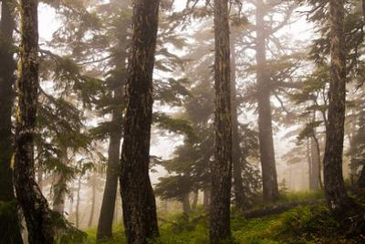 Foggy forest scene, Tongass National Forest, Alaska by Mark A Johnson