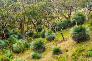 Grass trees, Fleurieu Peninsula, South Australia by Mark A Johnson