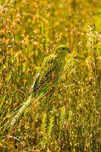 Ground Parrot, Tasmania, Australia by Mark A Johnson