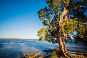 Paperbark tree growing on the shore of Lake Cootharaba, Queensland, Australia by Mark A Johnson