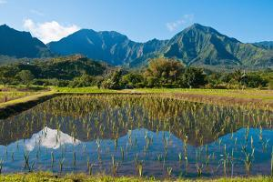 Taro field, Hanalei, Kauai, Hawaii by Mark A Johnson