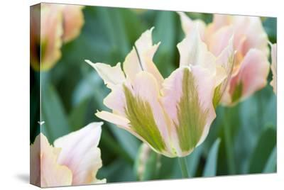 Artist Tulips