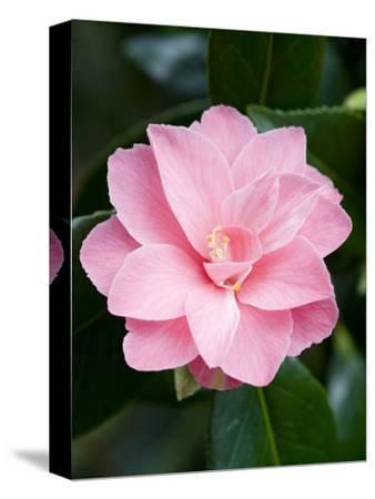 Camellia x williamsii 'Billie McCaskell'