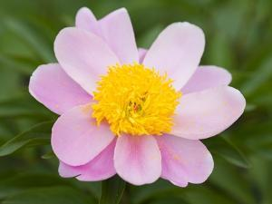 Close-up of Pink Peony by Mark Bolton