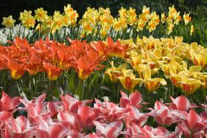 Czar Peter and Juan Tulips by Mark Bolton