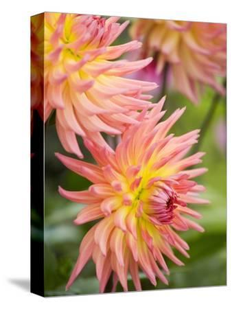 Dahlia 'Karma Sangria' in Bloom
