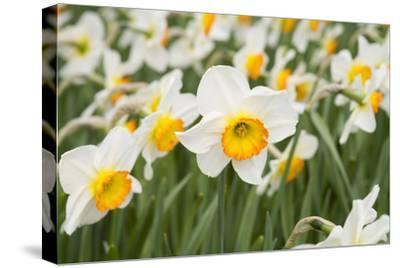 Flowerdrift Narcissus
